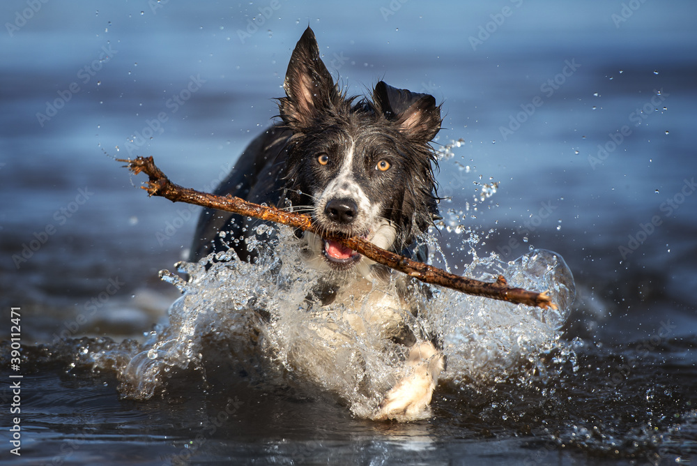 Fototapeta happy border collie dog fetching a stick out of water