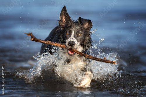 Valokuvatapetti happy border collie dog fetching a stick out of water