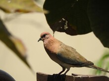A Beautiful Laughing Dove Sitting Over A Pedestal, Close Up