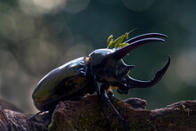 Horned Beetle And Army Mantis
