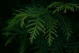 Gałązka żywotnika na ciemnym tle - tuja