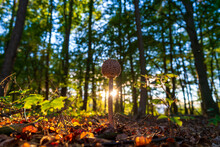 Parasol Mushroom In An Autumn Forest