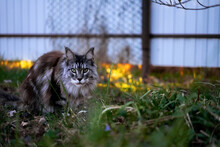 Gray Maine Coon Cat Hiding In The Grass