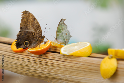 Tropical butterfly sucking nectar and fruit juices Wallpaper Mural