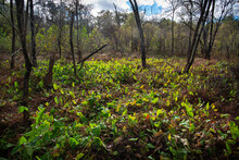 Sagittaria Latifolia (broadleaf Arrowhead) Backlit By Sun In Autum In Swamp Along Meadow Creek In Charlottesville, Virginia.