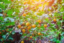 Yellow Gooseberry Berries On A...