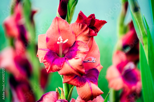 Fotografering gladioli in bloom close up