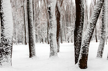 Old Thick Tree Trunks In The Forest Covered With White Snow
