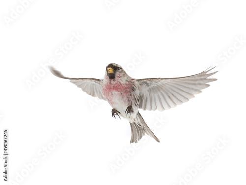 Photo Eurasian Linnet in flight isolated on white background.