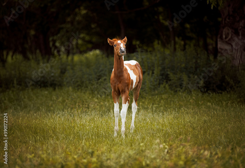 Fotografia adorable paint horse foal portrait standing in high green grass