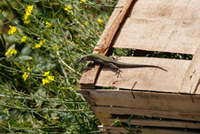 High Angle Shot Of A Small Lizard On A Wooden Box