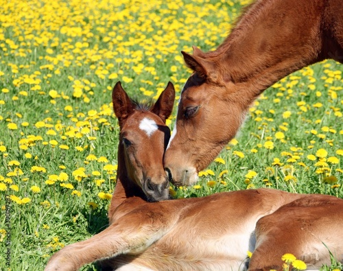 Fotografia foal and mare on the meadow