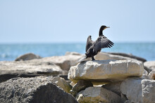 Black Cormorant On A Rocky Beach