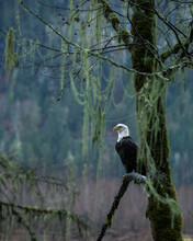 A Bald Eagle Perched In A Tree In A Misty Mountain Valley