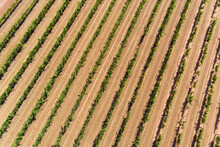 Aerial Views Over Grape Vines In Full Summer Growth