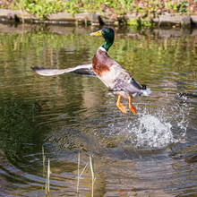 Beautiful Duck Present His Wings And Flies Away