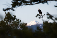 A Bald Eagle Sitting In A Tree Overlooking The Pacific On The BC Coast