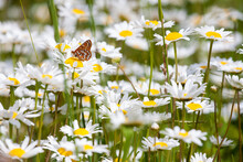 An Orange Butterfly In A Field...