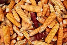 Corn Cobs In A Pile