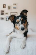 Portrait Of A Border Collie Dog