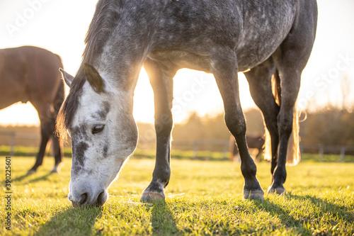 Pferd grast im herbstlichen Gegenlicht