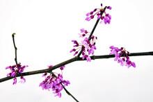 Isolated Virginia Redbud Tree Blossoms.