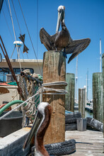 Pelicans Near Shrimp Boat Docked In Marina With Birds Flocking