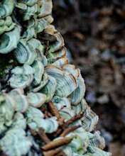 A Patch Of False Turkey Tail Mushrooms Grow On The Side Of A Tree At Devils Den State Park In Arkansas.