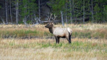 Side View Of An Elk Stag Standing Beside The Madison River On Misty Morning In Yellowstone National Park