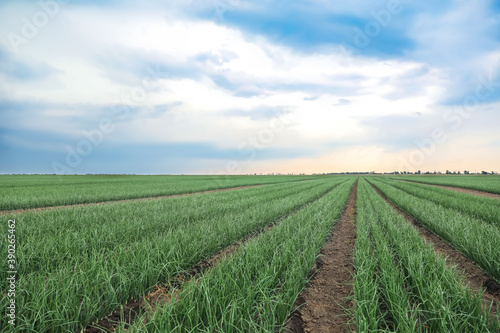 Fototapeta Rows of green onion in agricultural field obraz