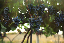 Delicious Ripe Grapes In Viney...