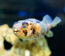 View Of Exotic Tropical Balloonfish Also Known As Spiny Porcupinefish And Spiny Puffer Behind Glass Of Aquarium