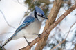 Close Up of a Blue Jay Perched on a Tree Branch