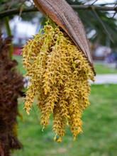 Closeup Shot Of Solitary Fishtail Palm (Caryota Urens) Flowers