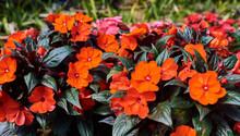 Blooming Begonias In The Garde...