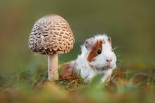 Little Guinea Pig Sitting Unde...