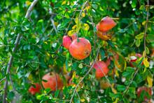 Closeup Of Red Pomegranates Ri...