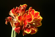Closeup Shot Of Red And Yellow...