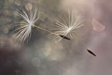White Flying Dandelion Fluffs ...