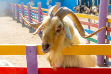 A Goat With Beautiful Horns