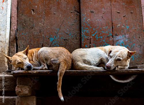 Obraz na plátně two dogs are sleeping at strets of varanasi