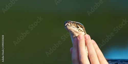 Fotografiet Tamed snake python in female hands close up