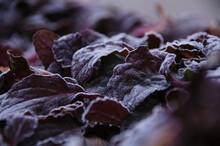 Dark Purple Leaves Covered Wit...