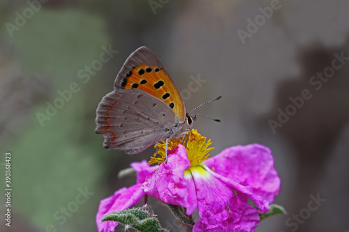 Fototapety, obrazy: Spotted Copper butterfly / Lycaena phlaeas