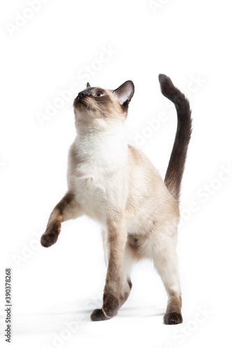 Fototapeta The cat stands on its hind legs on a white background.