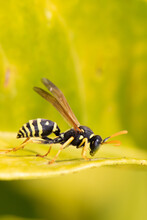Polistes Dominula. Wasp On Green Leaf .Wasp Close Up. Beautiful Wings. Landing On Plant