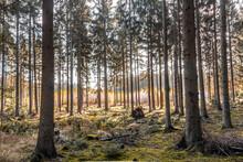 Bosque Con Pinos Y Cesped En O...
