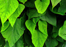 Green Fresh Leaves Closeup. Nature Outdoor Photography For Background Image Or As Plant Texture