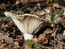 Russula Mushroom In The Tuscan...