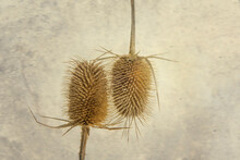Dried Up Thistle On A Grunge B...
